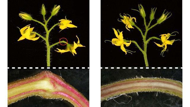 Cryptic Mutation Is Cautionary Tale for Crop Gene Editing