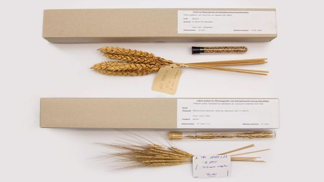 "Opportunities to Improve Bread Wheat ""Rise"" Thanks to Global Study"