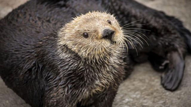 Low Genetic Diversity May Put Sea Otters at Risk