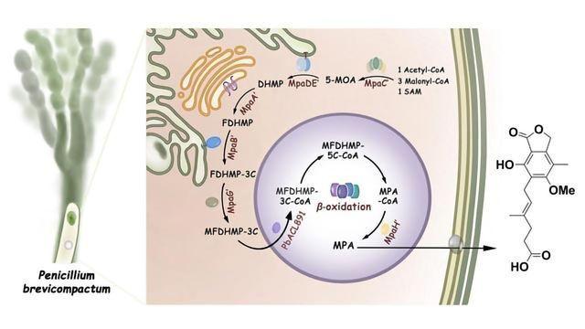 Mystery Solved: Immunosuppressive Drug's Biosynthesis Revealed