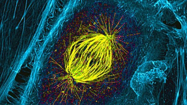 Mitotic Spindle in a Dividing Cell