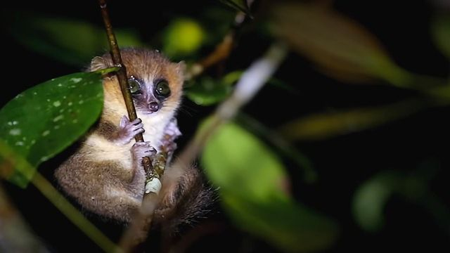From Mice to Mouse Lemurs: A New Model Organism?