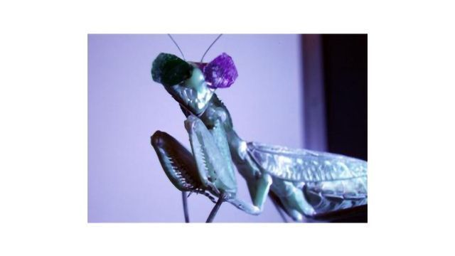 Why Is This Praying Mantis Wearing 3D Glasses?