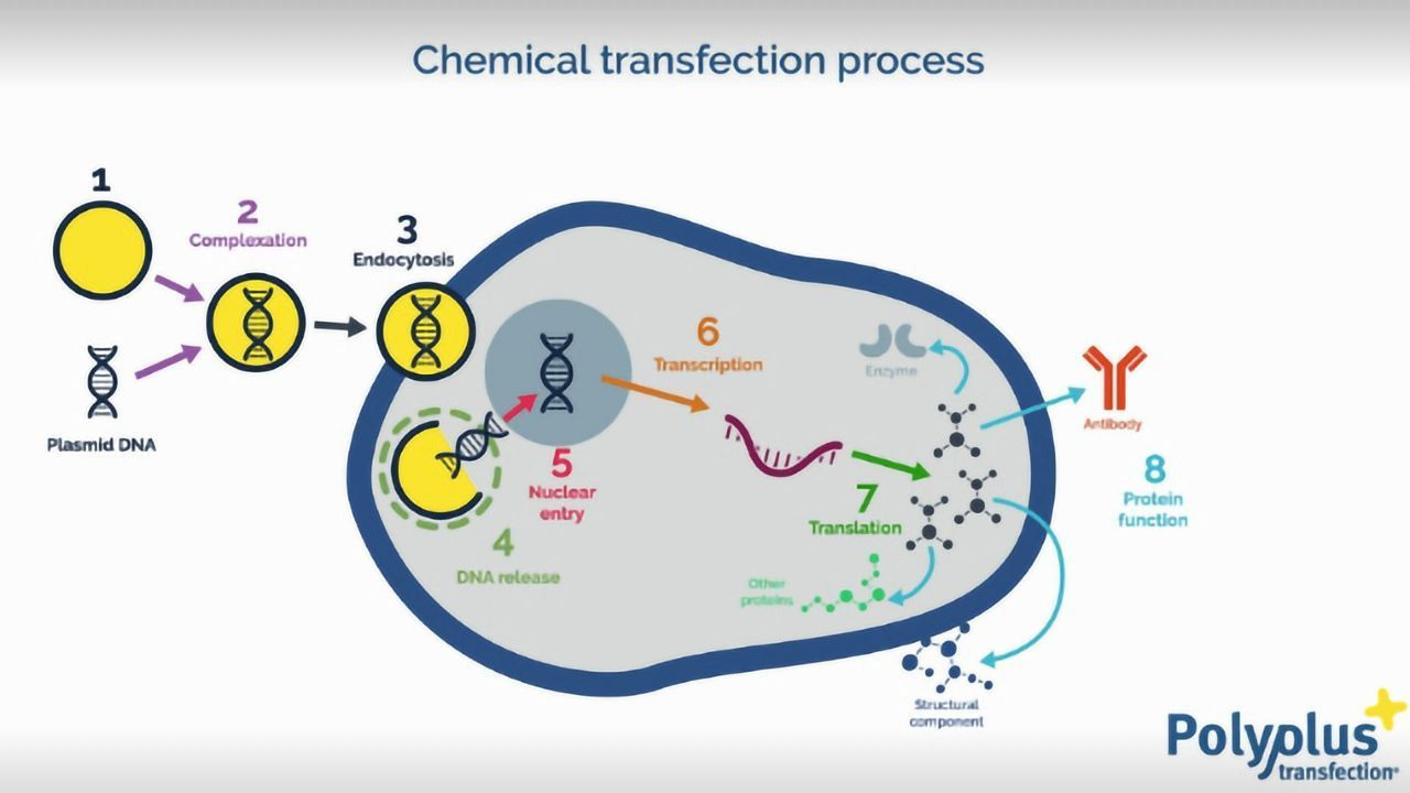 What is transfection?