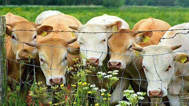 Novel Dairy Cattle Breeding Method Increases Genetic Selection Efficiency