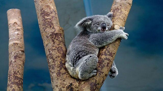 The Koala Code: Secrets of the Koala Genome