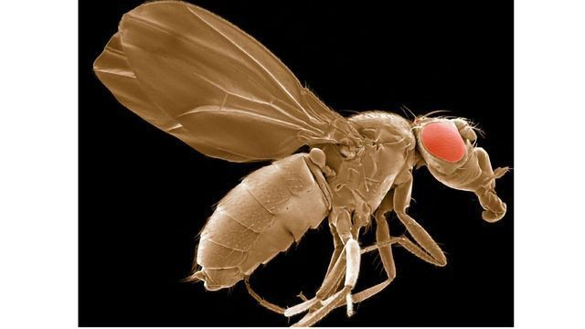 Drosophila - more commonly known as fruit fly.