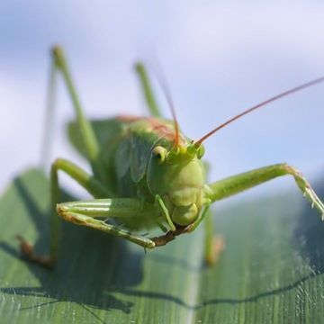 Grasshoppers Top the Antioxidant Rich List