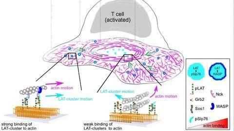 "Immune Cells Put Into Gear by Molecular ""Clutch"""