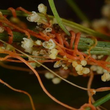 Parasitic Plants Steal Genes to Make Them Better Parasites