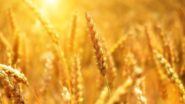 Good and Bad News for Wheat Crops in Rising CO2