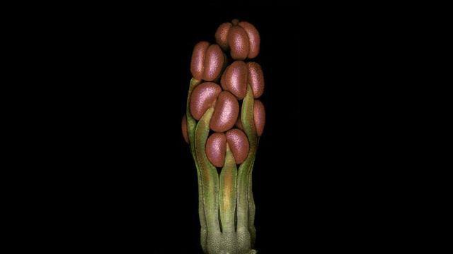 Spartium Flower Primordium