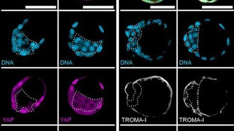 Implantable 3D Blastocyst-like Embryonic Structure Generated From Mouse Stem Cells