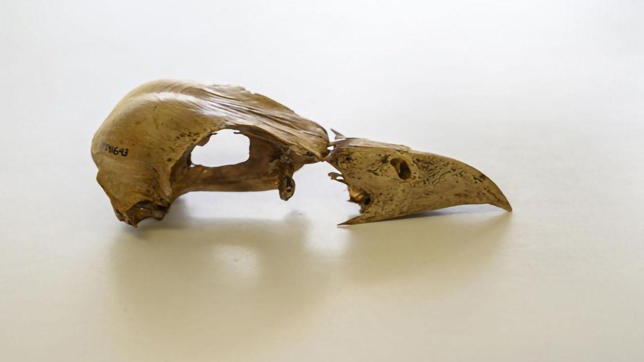 Extinct Caribbean Bird Yields DNA After 2,500 Years