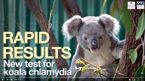 New DNA Test to Diagnose Chlamydia Infection in Koalas