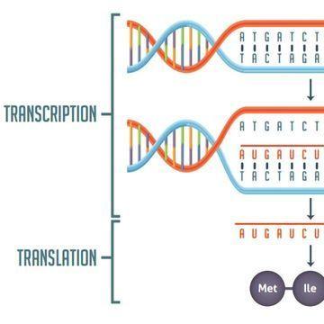 Transcription vs Translation Worksheet