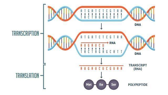 Image result for DNA Transcription