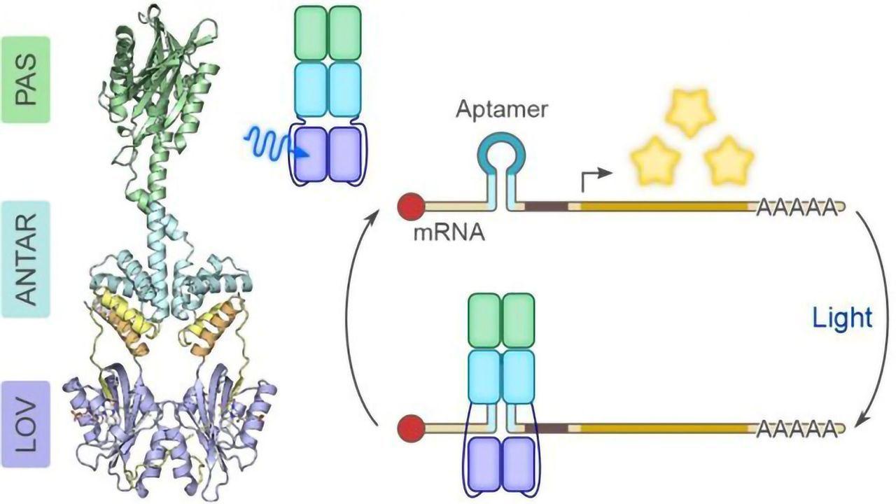 Regulating RNA With Light