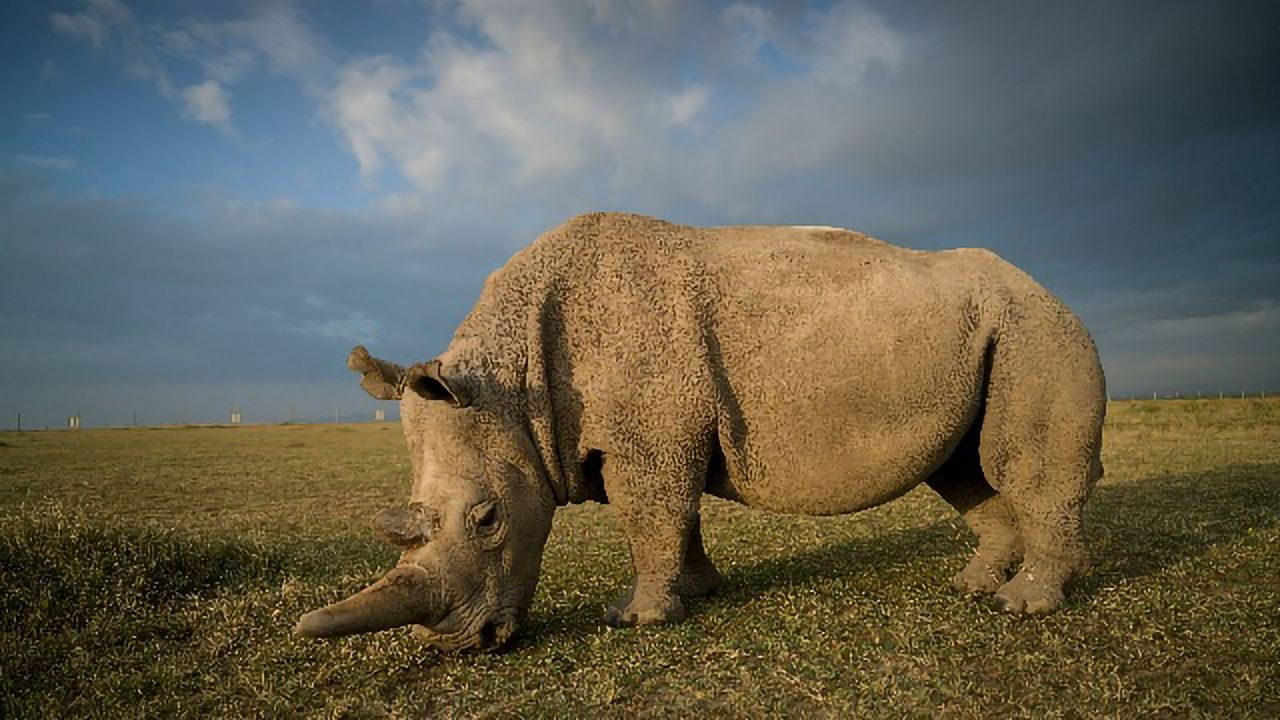 Northern White Rhino Oocytes Successfully Harvested and Fertilized