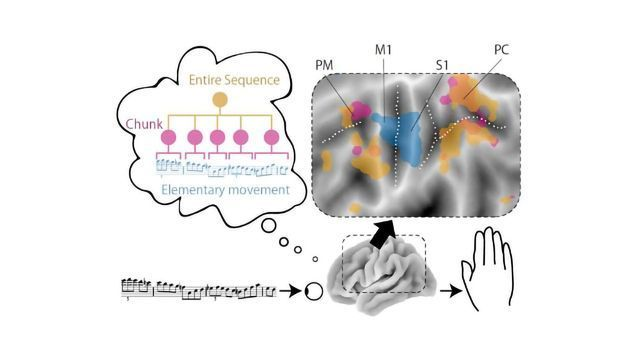How the Brain Keeps Finger Movements Fast