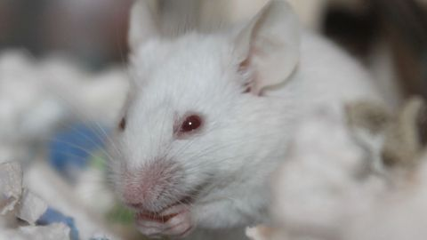 Gene Therapy Reduces Obesity and Reverses Metabolic Disease in Mice