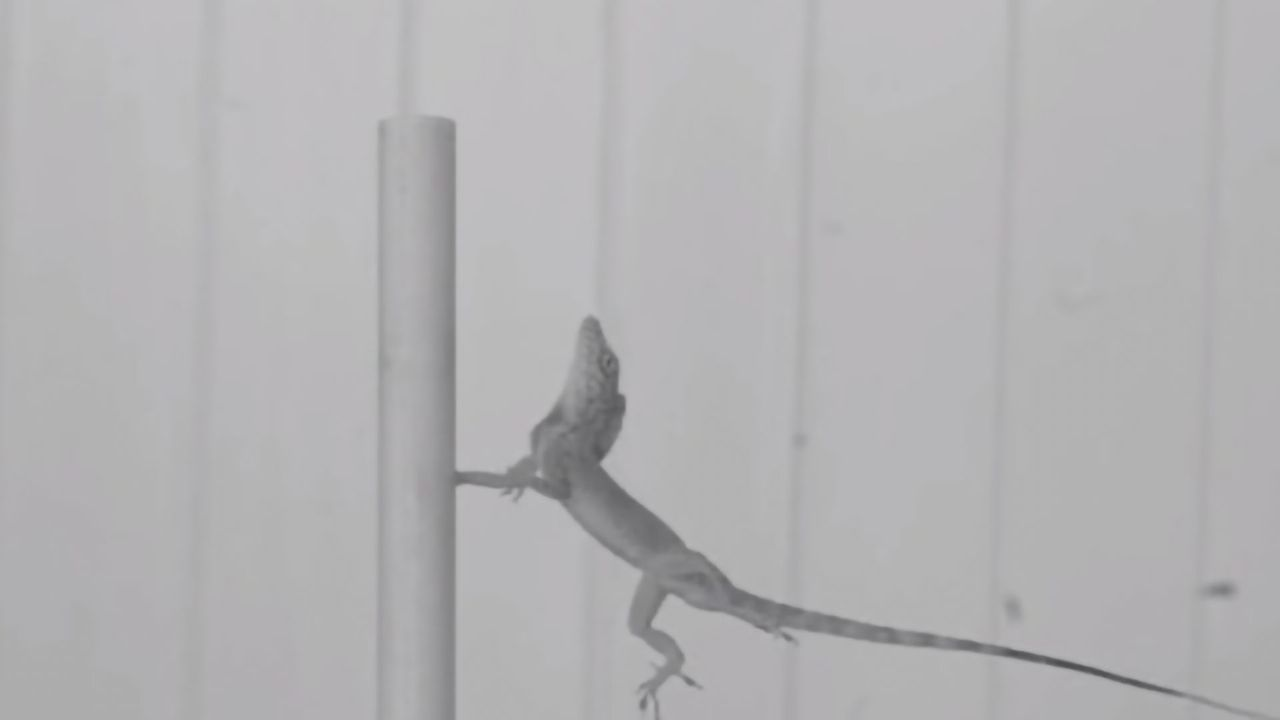 Natural Selection in a Hurricane: The Lizards That Won't Let Go