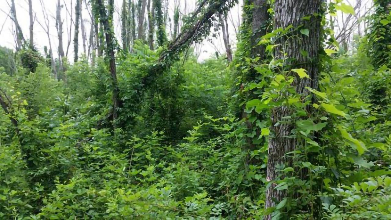 Lingering Ash Trees Will Survive Emerald Beetle Invasion – Just