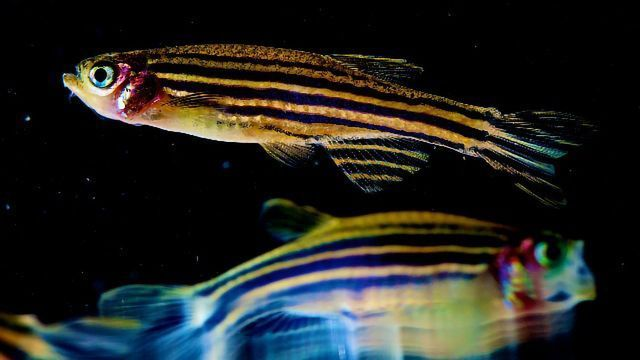 Zebrafish Study Shows Brain Activity Intensity Drives the Need for Sleep