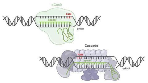 CRISPR Tool Opens Up a New Frontier of Genome Engineering Technologies