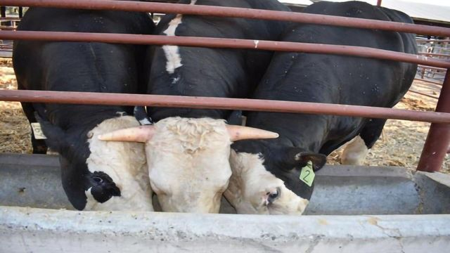 Grabbing the Bull by the Horns – Or Not So, in This Case