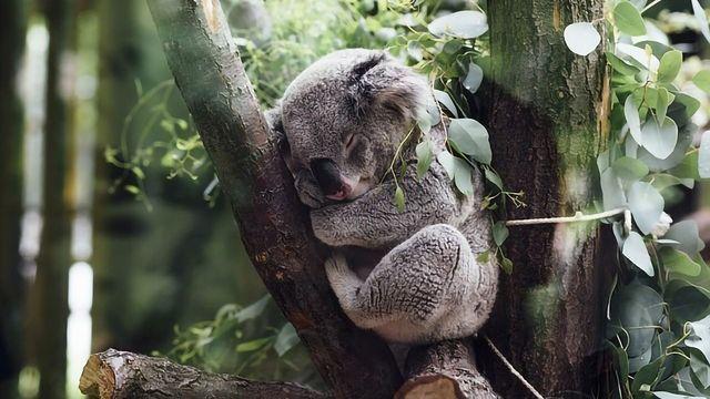 Koala's Novel Response to Viruses Reveals Evolutionary Clues