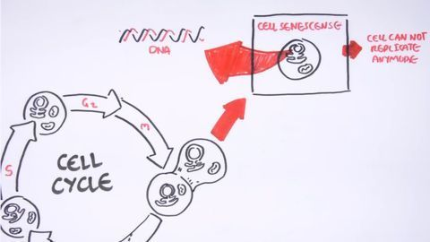 Cell Fates - Division, Senescence and Death