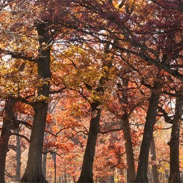 Mapping the Evolutionary History of Oaks