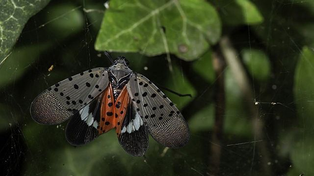 Genome of Spotted Lanternfly Built From a Single Insect