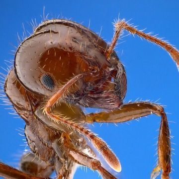 "What Puts the ""Fire"" in Fire Ants?"