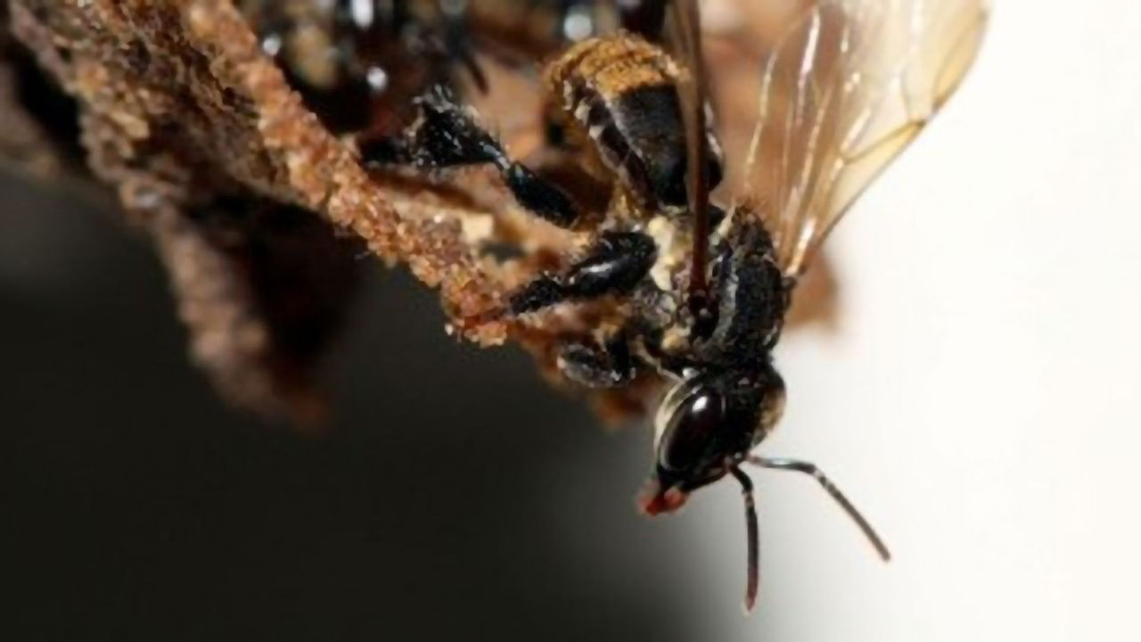 Fungal Symbiosis Vital for Bee Development Threatened by Pesticides
