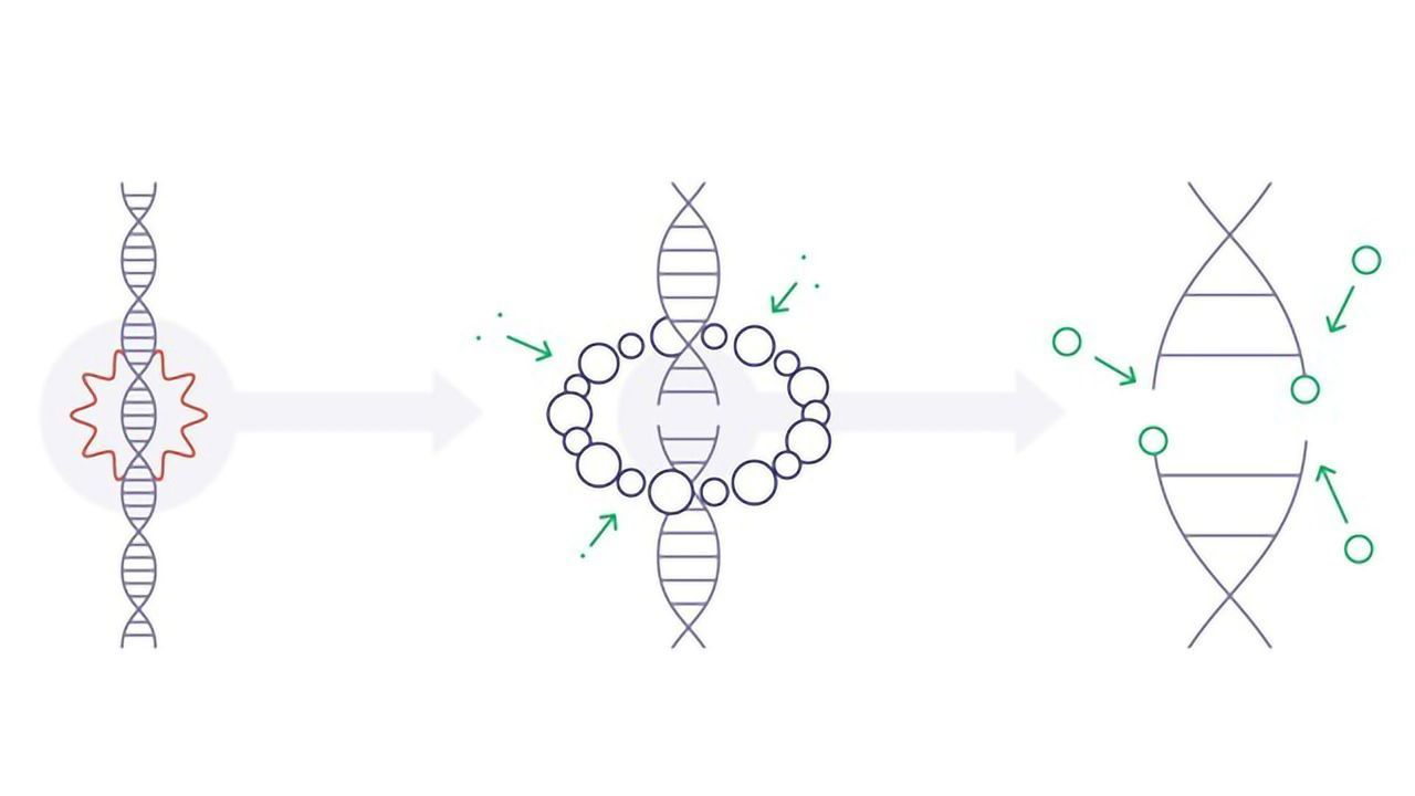 """Protein """"Scaffolding"""" Orchestrates DNA Repair"""