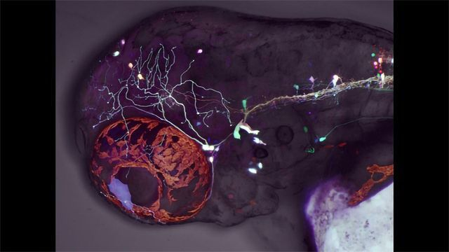 Zebrafish Study Reveals Developmental Mechanisms Behind Eye Movement