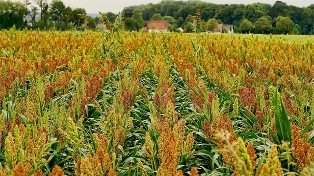 AI Helps Breed Climate-resilient Crops