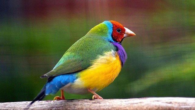 eDNA Helps Track Endangered Gouldian Finch