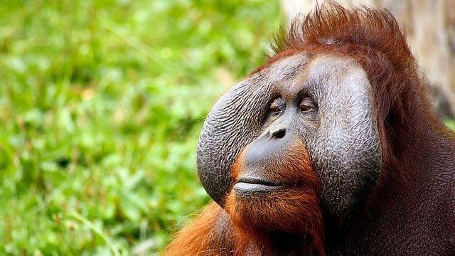 Orangutan Connected Directly to Extinct Giant Ape