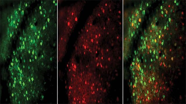 Mouse Study Suggests Experts' Brains Have Speedier Neurons