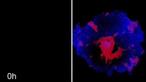Coaxing Stem Cells Into Custom Shapes Could Be Route to Personalized Organs