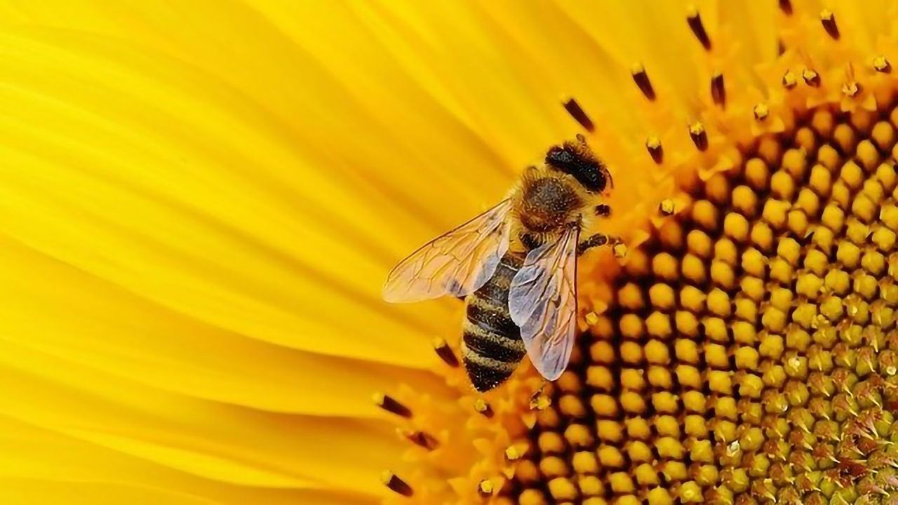 Bees Still at Risk From Neonicotinoids Despite Restrictions