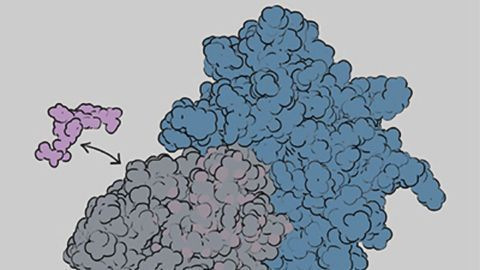 Key Dynamics of Immune Linchpin MHC Class I Revealed