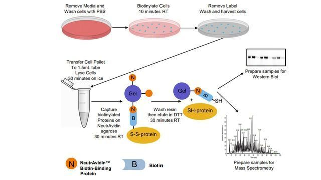Proteomic Analysis of Cell Surface Proteins with Improved Specificity of Enrichment
