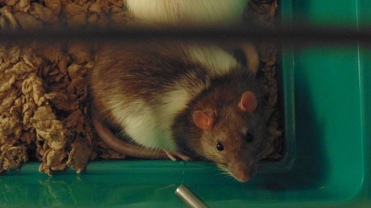 Rats Got Rhythm: Exploring the Evolutionary Origin of Beats in the Brain