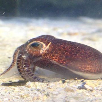 There's a New Bobtail Squid in Town