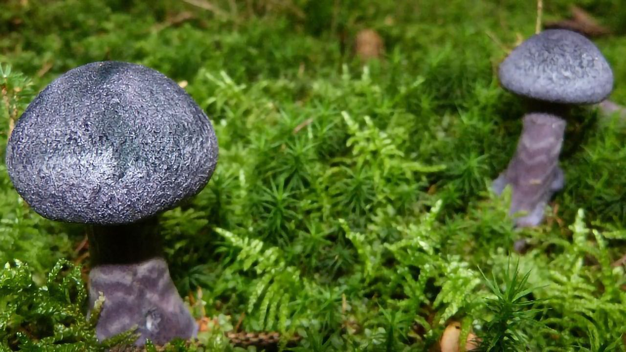 Blue Mushroom Dye Used To Develop New Bioimaging Tool
