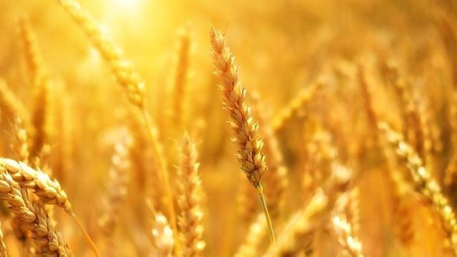 Modern and Heirloom Wheat Compared for Impact on Gut Health